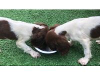 Puppy , cocker spaniel puppies