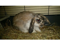 Lovely lop eared Rabbit