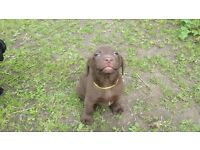 Pedigree Labrador Puppies Ready To Leave