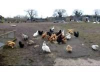 Chickens 🐔🐓🐔🐓🐔🐓🐔🐓