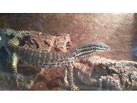 Argus monitor lizard