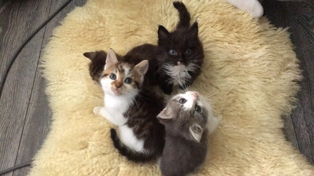 8 weeks little kittens for sale to lovely home . They are litter trained.