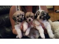 Beautiful Bichon frise x Lhasa apso puppies for sale