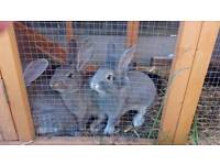 Continental X lionhead rabbits ready now!