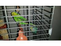 2 Budgies and double height cage for sale