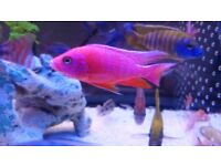 *WOW* STRAWBERRY PEACOCK* MALAWI AFRICAN CICHLID'S* TROPICAL FISH TANK AQUARIUM* LOT'S OF CHOICE*
