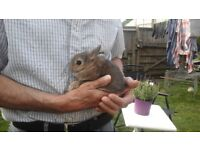 Gorgeous netherland dwarf baby rabbits ready now