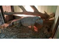 Iguana for sale
