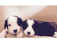 Borador puppies for sale to a good home