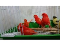 Full Red factor canary and good mule for Red eye hen single bird cage + Foods