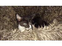 Cute kitten for sale