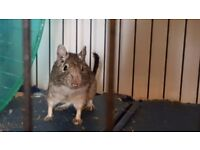 2 male 1yr old Degus for sale