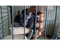 one male one female baby chinchillas looking for good home