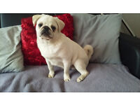 kc reg white pug pup