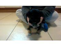 chihuahua pups.