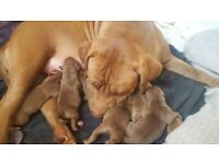 Mastiff x xl bully puppies ready 7th november