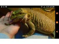 2 male Bearded dragons