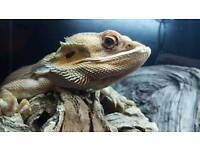 Red orange large bearded dragon with tank & accessories