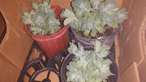 PLANT & GARDEN STATUE SALE - SEDUM $6 EACH