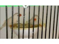 Pair white zebra finch