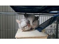 2 chinchillas plus cage