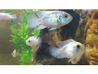 Electric blue acaras cihlids for sale £5.50 each