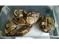 Enchi royal python