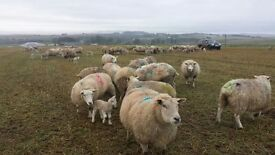 Lambing Assistant