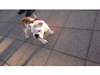 Kc registered british english bulldogs