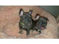 Quality French Bulldog Puppy's Lilac & Tan and Blue & Tan