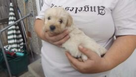 westiepoo puppies for sale