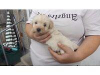 westiepoo puppies for sale
