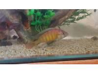 Large Adult Rainbow Chiclid