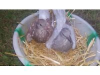 2 baby pigeon for sale