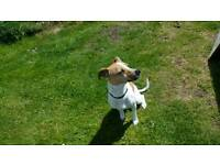 18month old jack russell terrier
