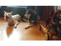 Tricolour Siberian Huskies puppies for Sale: 2 Panda mask Black/White/grey / 1 Grey/whiteblack Girl