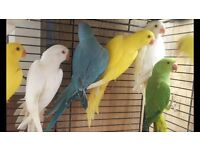 Beautiful Baby 12wks Various Colours From £90 Parrot