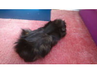 2 young girls guinea pigs long haired
