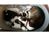 Staffordshire Bull Terrier puppies from a Kc Registered 5th generation pedigree Staffy, Family pets