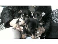beautiful chihuahua puppys looking for loving homes 3 boys 1 girl (GIRL GONE)