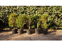 Box Hedge Plants 6 for £25