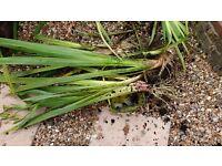 Water Irises