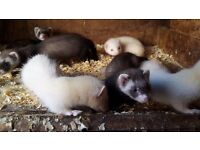 Ferrets kits for sale 9 weeks old and ready to go