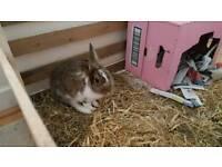 Baby Rabbit (12wks)
