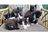 Kittens for sale Black and White or Ginger