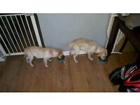 2 labrador puppies left 18 weeks old 1 boy 1 girl please call 07976476983