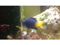 Marine fish, Yellowtail damselfish x3