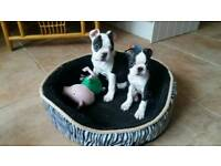 KC Boston terrier puppies for sale