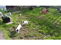Staffie bull terrier pups