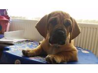 Basset Hound X Pug Needs new loving home!